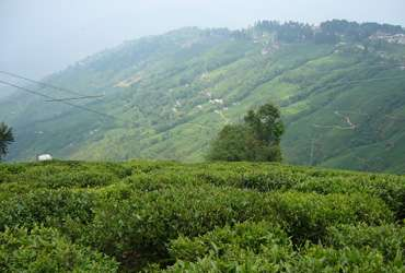 Tea Garden in Darjeeling